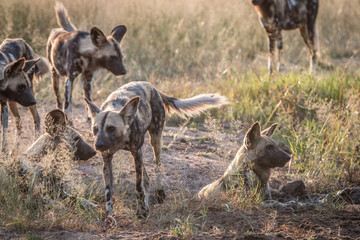 Several African wild dogs in the grass.