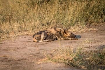 An African wild dog resting on the road.