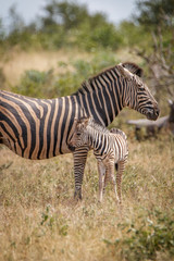 A baby Zebra bonding with the mother.