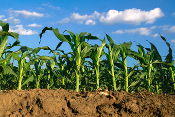 Corn plants growing in cultivated agricultural field