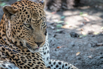 Close up of a male Leopard relaxing.