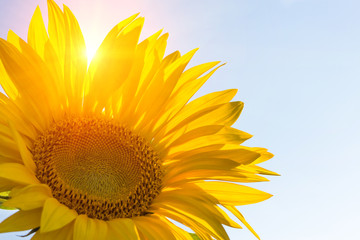 Sunflower in sunny weather. background. copy space