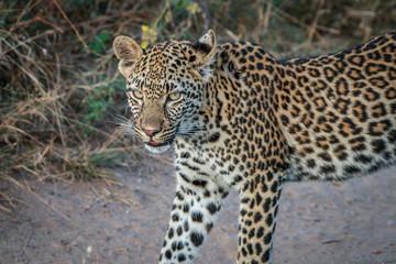 A Leopard walking on the road.