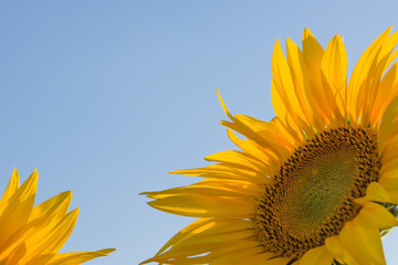 Sunflower against blue sky background. copy space