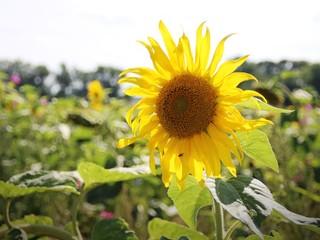 Sonnenblume - Feld