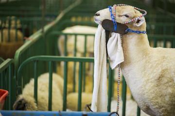 Sheep at the Indiana State Fair