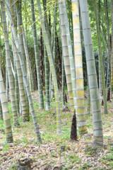 Bamboo shoot in Japan