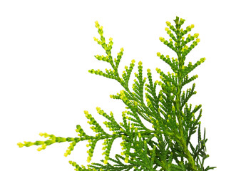 Thuja occidentalis Wagneri isolated on white background
