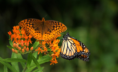 Monarch butterfly and another butterflyb on vivid orange flowers
