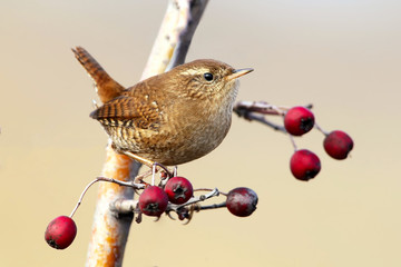 Wren close up portrait with berries