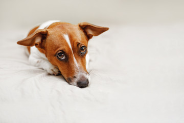 Cute jack russell dog lying on bed.