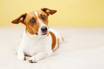 Happy jack russell dog lying on bed.