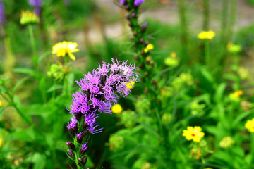 Liatris flowers in the garden on the flowerbeds against background of grass. Bloom, nature