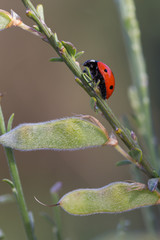 Ladybug in their natural environment.