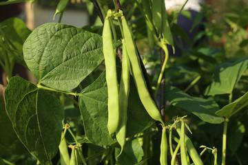 Beans growing in garden. Homegrown organic food, beans ripening in garden.