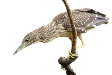The black-crowned night heron (Nycticorax nycticorax), commonly night heron, young birds on the branch with yellow background