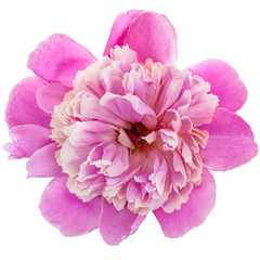 Wall Mural - Pink peony flower