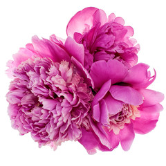 Wall Mural - Three peonies isolated