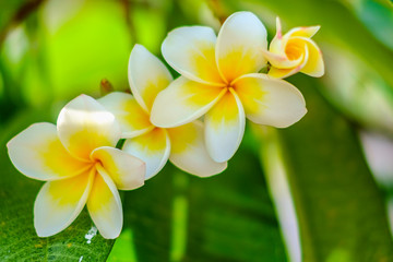 White Frangipani or Plumeria flower on the blurred green natural background
