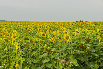 Endless field of flowering sunflowers, august evening. Natural summer background on different topics
