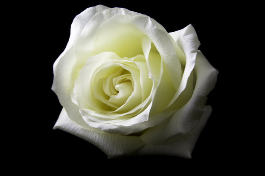 White Rose-11/A beautiful and elegant white rose on a black background.