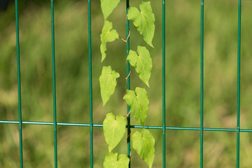 natural Wallpaper with green metal bars and with ivy on blurred green background