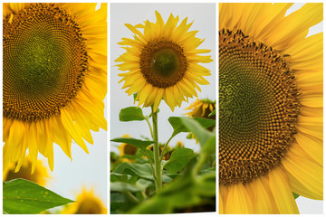 Collage of organic sunflowers close-up. Beautiful summer background on different topics