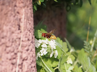 one european hornet (vespa crabro) flying to a trunk of a tree with green leaves in the background