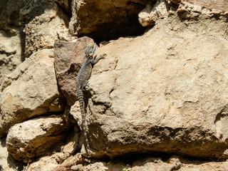 Enourmous gigantic lizard on rock