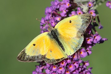 Fotoväggar - Clouded Sulphur (Colias philodice) Butterfly