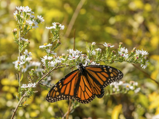 Monarch Butterfly on white wildflowers