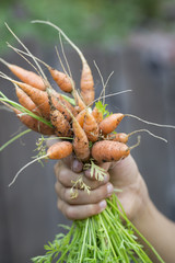 Child holding freshly pulled carrots