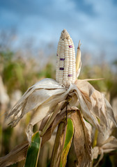 Corn in a corn field ready for harvest