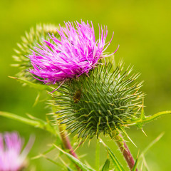 Thistle and insect