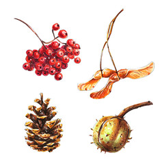 Autumn floral set. Chestnut, pine cone, maple tree seed, red rowan berries