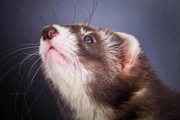 Portrait of sable ferret