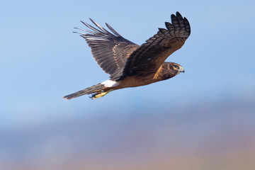 Extremely close view of a hen harrier, seen in the wild near the San Francisco Bay