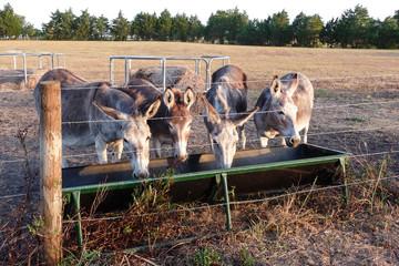 Donkey family Dinnertime
