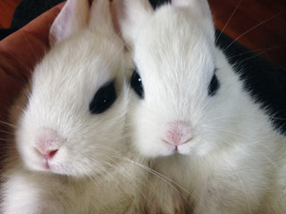 An Isolated Close Up Face Shot of Two Adorable White Blanc de Hotot Baby Bunnies Rabbits Against a Non-Descript Background