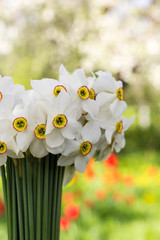 Bouquet of small white daffodil