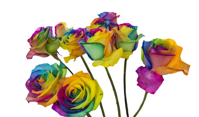 Rainbow roses isolated in white