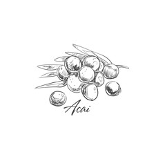 Acai. Vector Hand drawn illustration. Fruits and Berries collection