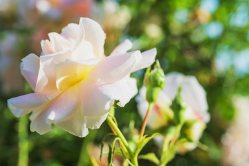 Rose bloom in the park