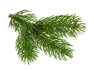 Pine tree isolated on white without shadow