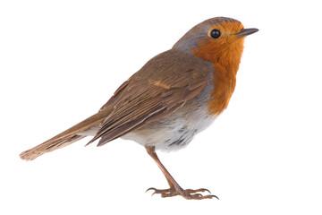 European robin (Erithacus rubecula) Fotoväggar