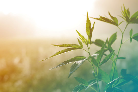 Hemp plant on a meadow in morning light, in a fog haze. Cannabis leaf