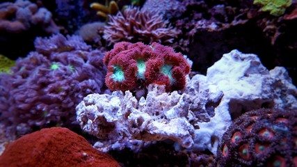 Photo sur Aluminium Recifs coralliens Blastomussa LPS coral in saltwater aquarium tank