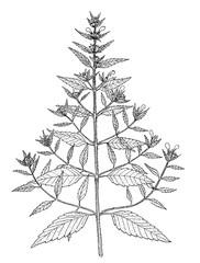 galeopsis ladanum botanical illustration