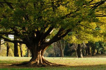 秋の欅の木