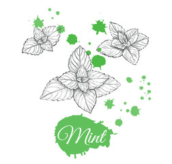 Mint sketch set vector illustration. Hand drawing mint collection.